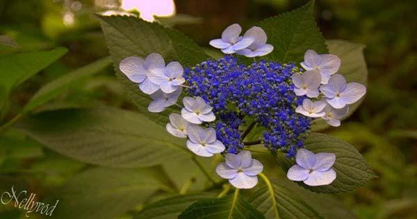 Синьо цвете с бледо сини цветчета