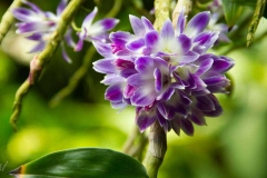 Singapure-Botanic-22
