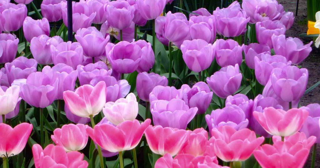 Феерия в лилаво