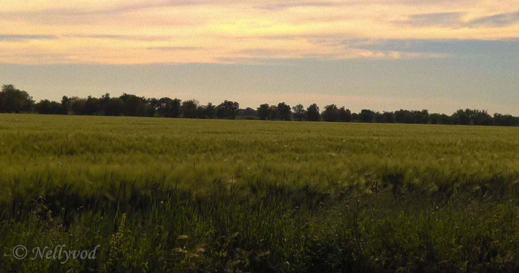 Все още зелена нива със пшеница